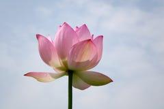 Lotus flower under blue sky Stock Image