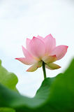 Lotus flower under blue sky Royalty Free Stock Photo