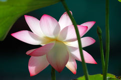 Lotus flower under sun light Stock Images