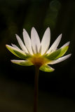 Lotus flower under sun light  with bokeh in dark background, soft focussed Stock Photography