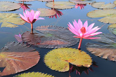 Lotus. The lotus flower is used for worship Royalty Free Stock Image