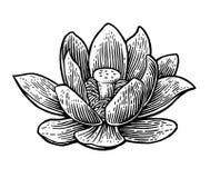 Lotus flower. Vector black engraving vintage illustration on white background Stock Photos