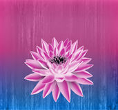 Lotus flower. Vector floral background. Royalty Free Stock Photography