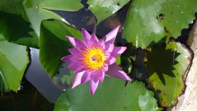 Lotus. Flower view Royalty Free Stock Photo