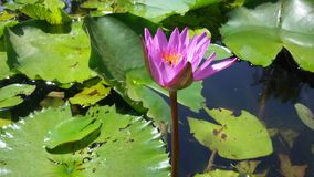 Lotus. Flower view Stock Photos