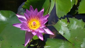 Lotus. Flower view Stock Photo