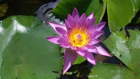Lotus. Flower view Stock Images