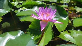 Lotus. Flower view Royalty Free Stock Images