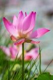 Lotus Flower VII Fotografia de Stock Royalty Free