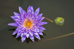 Lotus flower. Volet Lotus flower beautiful lotus Royalty Free Stock Image