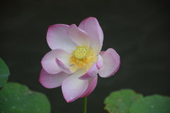 Lotus flower. The Lotus flower was photographed in July in Beijing after rain Royalty Free Stock Photos