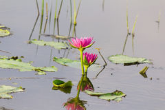 Lotus flower in water Stock Images