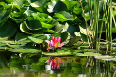 Lotus flower in water. Beautiful lotus with water reflection stock images