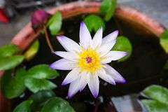 The lotus flower Royalty Free Stock Images