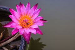 Lotus. Flower on the water beauty royalty free stock photography