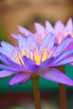 Lotus flower on the water Stock Image