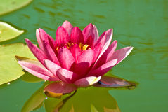 Lotus flower on the water closeup Royalty Free Stock Photo