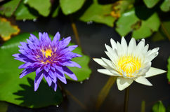 Lotus Flower or Water Lilly Blossom. Nelumbo is a genus of aquatic plants with large, showy flowers. Members are commonly called lotus, though lotus is a name Royalty Free Stock Photography