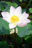 Lotus Flower or Water Lilly Blossom in pond. The lotus flower is an aquatic perennial. Sometimes mistaken for the water-lily, the lotus has a distinctively stock photography