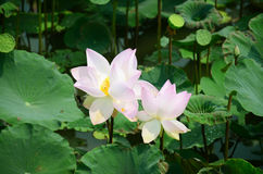 Lotus Flower or Water Lilly Blossom in pond. The lotus flower is an aquatic perennial. Sometimes mistaken for the water-lily, the lotus has a distinctively Stock Image
