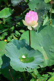 Lotus Flower or Water Lilly Blossom in pond. The lotus flower is an aquatic perennial. Sometimes mistaken for the water-lily, the lotus has a distinctively royalty free stock photo