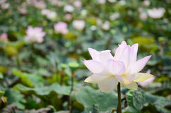 Lotus Flower or Water Lilly Blossom in pond. The lotus flower is an aquatic perennial. Sometimes mistaken for the water-lily, the lotus has a distinctively stock photo