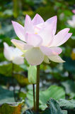 Lotus Flower or Water Lilly Blossom in pond. The lotus flower is an aquatic perennial. Sometimes mistaken for the water-lily, the lotus has a distinctively royalty free stock photography