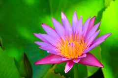 Lotus flower or water lilly pink close up beautiful in nature.  Stock Photography