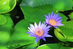 Lotus flower or water lilly purple beautiful in nature.  royalty free stock photography