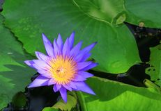 Lotus flower or water lilly purple beautiful in nature.  stock photography