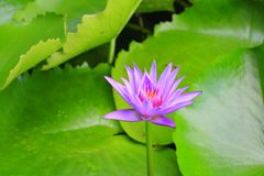 Lotus flower or water lilly purple beautiful in nature.  stock photos