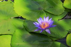 Lotus flower or water lilly purple beautiful in nature.  stock images