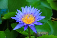 Lotus flower or water lilly purple beautiful in nature.  royalty free stock photo