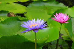 Lotus flower or water lilly purple beautiful in nature.  royalty free stock image