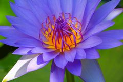 Lotus flower or water lilly purple close up beautiful in nature.  Royalty Free Stock Images