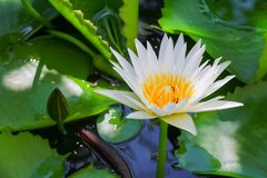 Lotus flower or water lilly white close up beautiful in nature.  Royalty Free Stock Images