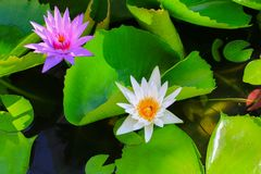 Lotus flower or water lilly white close up beautiful in nature.  Stock Photography
