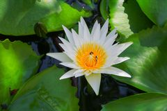 Lotus flower or water lilly white close up beautiful in nature.  Royalty Free Stock Image
