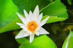 Lotus flower or water lilly white close up beautiful in nature.  Stock Images