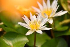 Lotus Flower Or Water Lily fotos de archivo