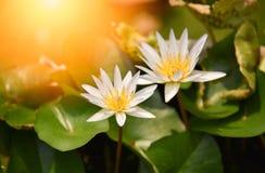 Lotus Flower Or Water Lily imágenes de archivo libres de regalías