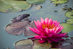 Lotus Flower. Or Water Lily Royalty Free Stock Images