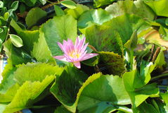 Lotus flower on water. Water lily or lotus flower on water Stock Image