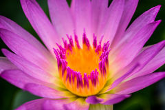 Lotus flower. Water lily Royalty Free Stock Photos
