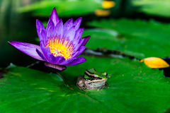 Lotus flower or water lily and frog Royalty Free Stock Images