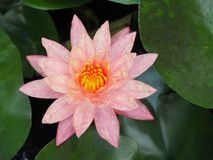 Lotus flower or water lily pink with green leaves. Beautifully blooming in the spa pool to decorate. It is the flower of the month. July is also related to art Royalty Free Stock Photos