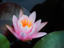 Lotus flower or water lily pink with green leaves. Beautifully blooming in the spa pool to decorate. It is the flower of the month. July is also related to art Stock Photos