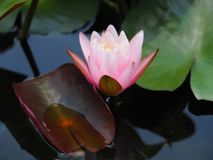 Lotus flower or water lily pink with green leaves. Beautifully blooming in the spa pool to decorate. It is the flower of the month. July is also related to art Stock Photography
