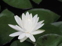 Lotus flower or water lily white with green leaves. Beautifully blooming in the spa pool to decorate. It is the flower of the month. July is also related to Royalty Free Stock Photos
