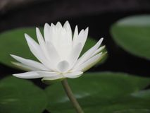 Lotus flower or water lily white with green leaves. Beautifully blooming in the spa pool to decorate. It is the flower of the month. July is also related to Stock Images